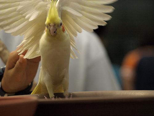 羽を広げる黄色い手乗りインコ