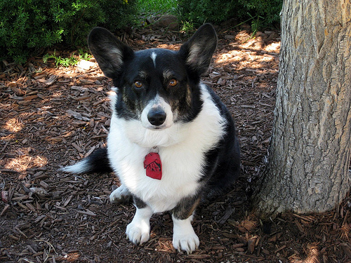 正面から見たCardigan Welsh Corgi