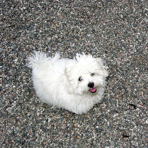 コトン・ド・テュレアール | 犬...