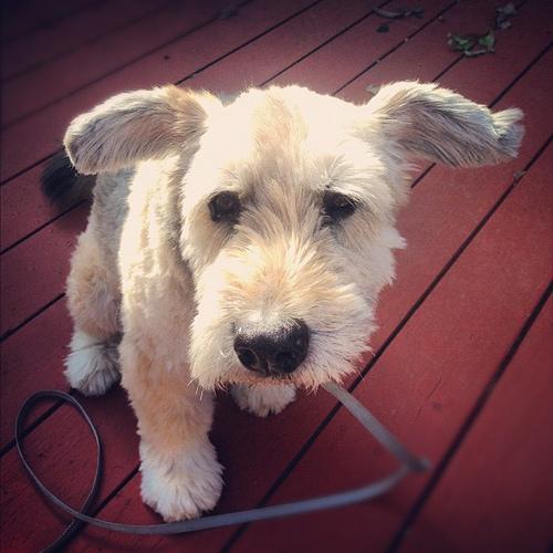 上を見上げるアイリッシュ・ソフトコーテッド・ウィートン・テリアの子犬