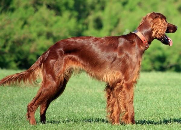 芝生のうえにいる茶色いアイリッシュ・セッター