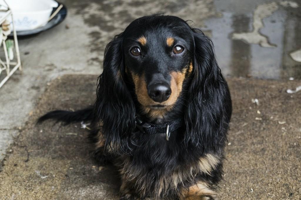 正面から撮影した黒いロングヘアード・ミニチュア・ダックスフンドの成犬の写真