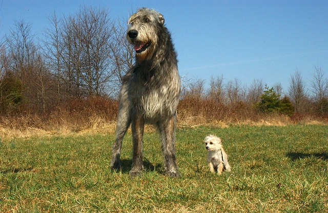 超大型犬アイリッシュ・ウルフハウンドと小型犬との大きさの比較