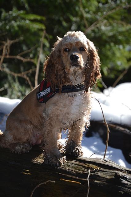雪の残る森のなかの倒木の上で座っているアメリカン・コッカー・スパニエル