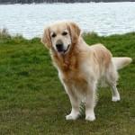 2015/5/3 ペットの王国ワンだランド感想 嘱託警察犬のゴールデンとマイクロチップについて