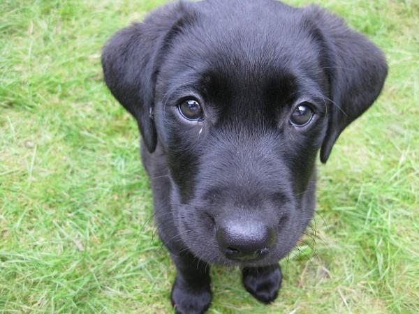 黒ラブの子犬