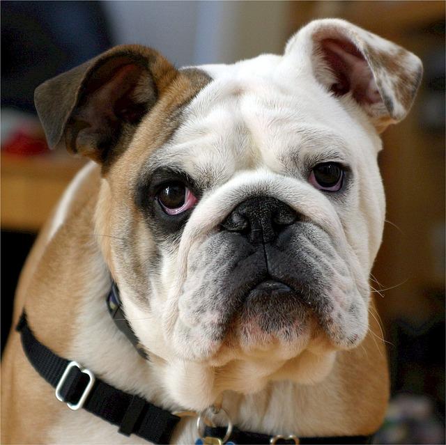 2015/6/7 ペットの王国ワンだランド感想 ブルドッグとイタグレの子犬