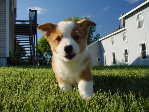 ウェルシュ・コーギー・ペンブロークの子犬