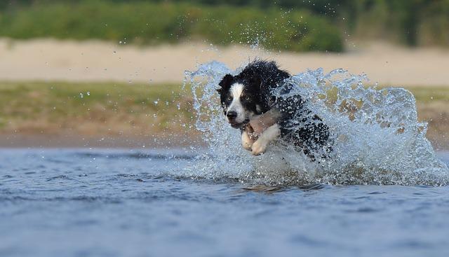 2015/8/30ペットの王国ワンだランド感想 二頭のサーフィン犬ボーダーコリー