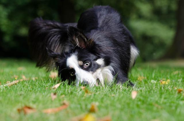 ドッグランの芝生で遊ぶボーダー・コリー