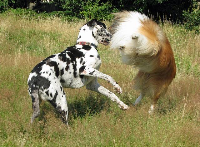 ラフ・コリーと遊ぶグレート・デーン