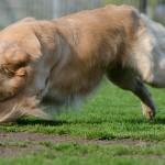 犬が穴堀りをする習性と理由