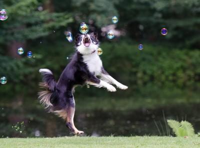 犬が動くものを追いかけるのは狩猟本能からきた習性
