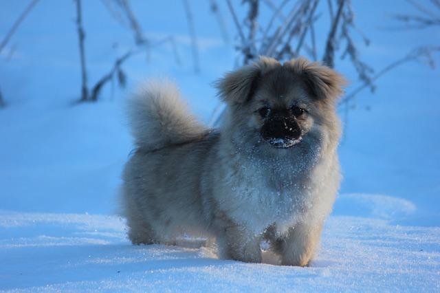 雪の上に立つ、チベタン・スパニエル