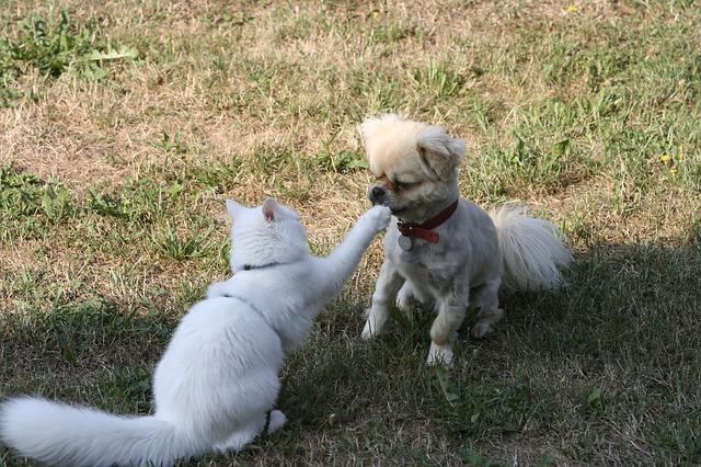 猫と遊ぶチベタン・スパニエル