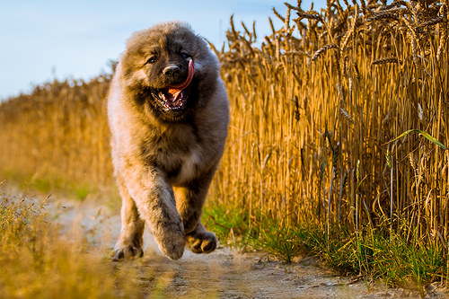 正面から撮影したコーカシアン・シェパード・ドッグの子犬