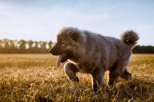 コーカシアン・シェパード・ドッグの子犬