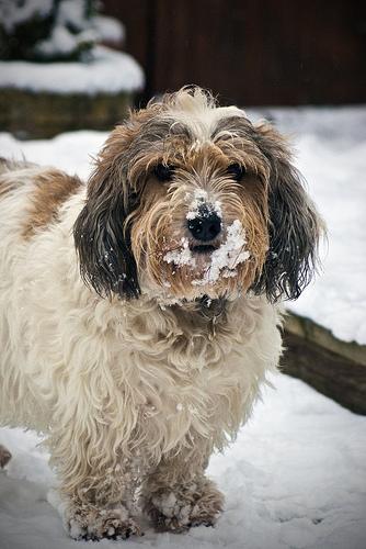 雪の上に立つプチ・バセット・グリフォン・バンデーン