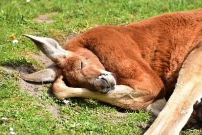 横になって眠っているカンガルー