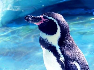 ペンギンの横顔