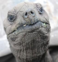 ゾウガメの顔のアップ