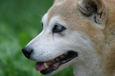 2015/10/11ペットの王国ワンだランド感想 両目義眼の柴犬と小学校内にある水族館