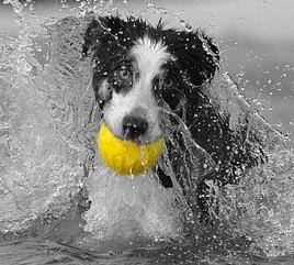 ボールをくわえるボーダー・コリーの子犬