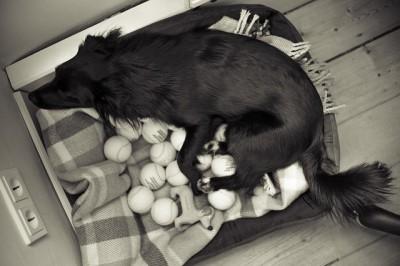 おもちゃをたくさん持っている犬