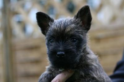 ケアーン・テリアの子犬