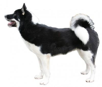 横から撮影した白黒のグリーランド・ドッグ