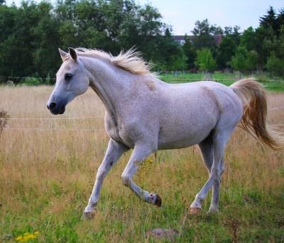 横から撮影した白い馬