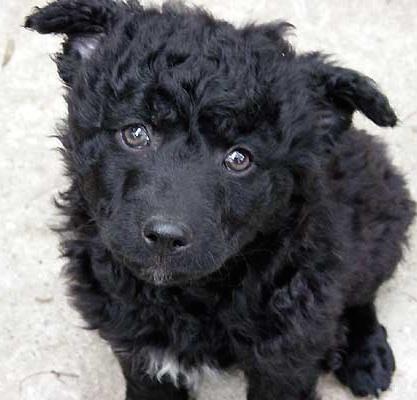 クロアチアンシープドッグの子犬