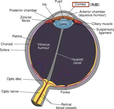 角膜の断面