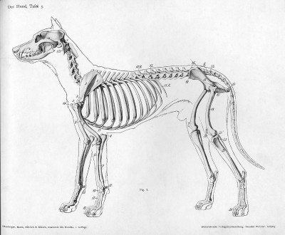 犬の骨格写真