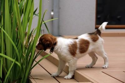 コイケルホンディエの子犬