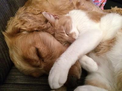 仲良く一緒に眠るゴールデン・レトリーバーと猫