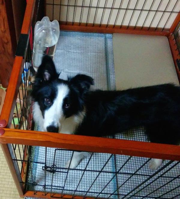 ハウスのコマンドでサークルに入った犬