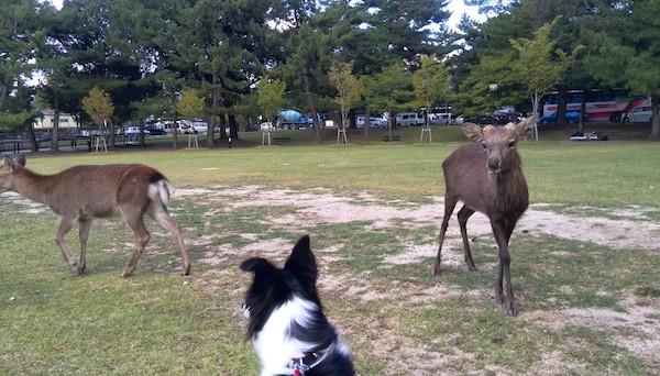 奈良公園でシカを見る
