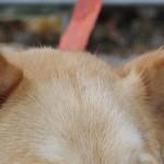 耳血腫(耳介血腫)