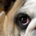 眼瞼内反症(逆さまつげ)