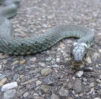 アスファルトの上でこちらを伺うヘビ